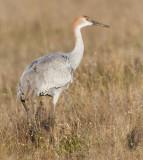 sandhill crane colt 130