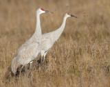 sandhill crane 290