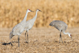 sandhill crane 291