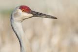 sandhill crane 292