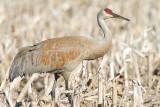 sandhill crane 293