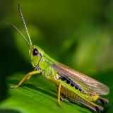 Lesser Mottled Grasshopper