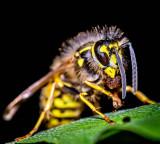 The Tree Wasp