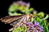 Microlepidoptera ?