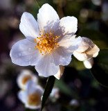 Jasmine Beauty