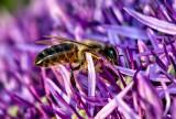 Honeybee Romping in the Garlic
