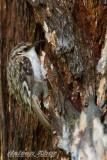 Eurasian Tree Creeper