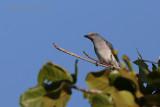 White Rumped Cuckoo Shrike