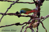Pin Tailed Parrotfinch