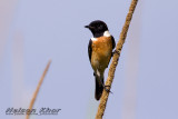 Eastern Stonechat