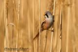 Bearded Parrotbill