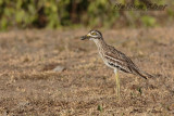Indian Thick Knee