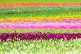 Tulip Tulip Tulip