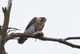Hawks, Falcons