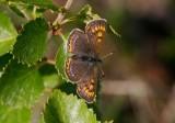 Violett guldvinge  (Lycaena helle)