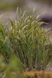 Gaffelbräken (Asplenium septentrionale)
