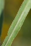 Skärblad (Falcaria vulgaris)