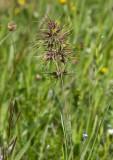 Knölgröe (Poa bulbosa)