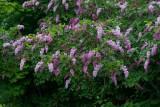 Prestonsyren (Syringa × prestoniae)