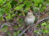 Eurasian River Warbler (Locustella fluviatilis)