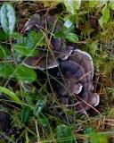 Svart taggsvamp (Phellodon niger)