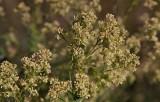 Bitterkrassing (Lepidium latifolium)