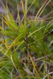 Palmstarr (Carex muskingumensis)