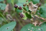 Pyramidbjörnbär (Rubus pyramidalis)