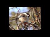 Siberian Tit (Poecile cinctus)