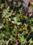Turkisk ek (Quercus cerris)