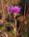 Bantistel (Cirsium canum)