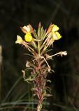Klittnattljus (Oenothera oakesiana)