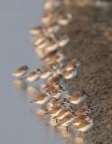 Lesser Sand-Plover (Charadrius mongolus)