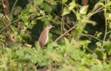 Oriental Reed-Warbler (Acrocephalus orientalis)