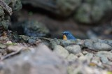 Chinese Blue Flycatcher (Cyornis rubeculoides glaucicomans)
