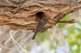 Oak Titmouse (Baeolophus inornatus)