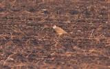 Caspian Plover (Charadrius asiaticus)
