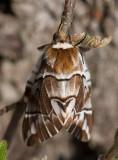 Skäckspinnare (Endromis versicolora)