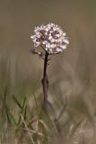 Backskärvfrö (Thlaspi caerulescens)