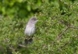 Barred Warbler (Sylvia nisoria)