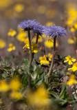 Bergskrabba (Globularia vulgaris)