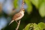 Blyth´s Reed-Warbler (Acrocephalus dumetorum)