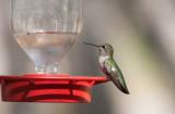 Anna´s Hummingbird (Calypte anna)