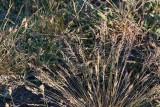 Sandsvingel (Festuca polesica)