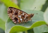 Brunfläckig pärlemorfjäril (Boloria selene)