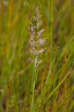 Madrör (Calamagrostis stricta)