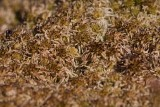 Uddvitmossa (Sphagnum fallax)