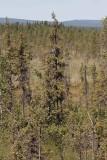 Altaigran (Picea obovata)