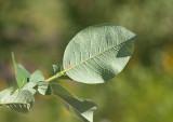 Finnblekvide (Salix hastata ssp. subintegrifolia)
