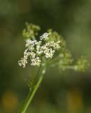 Rysskörvel (Chaerophyllum prescottii)